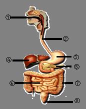 下图是人体消化系统的结构模式图,请据图回答下列问题图片