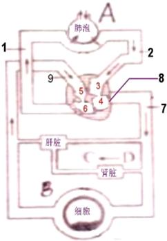 如图是人体血液循环与气体交换示意图请据图回答下列问题:(1)图中[8]图片
