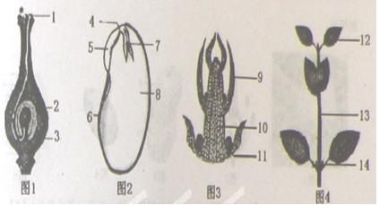 如图是受精过程,种子,芽和植株结构示意图,根据 ...