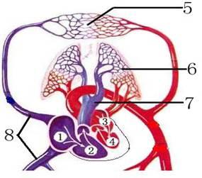 (14分)(1)人体血液循环分为体循环和肺循环,图中能完整表示出的是循环图片