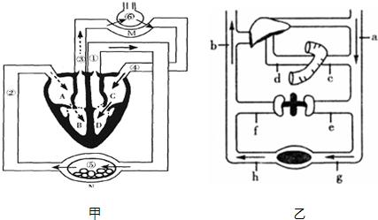 甲图为人体血液循环示意图.图片
