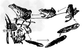 在蛙的发育过程中,四肢发育的规律是 A.先长后肢,再长前肢B.先长