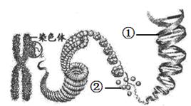 下图为染色体和DNA的关系示意图。下列说法