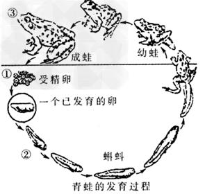 蝌蚪和青蛙显著不同的特点是 A.形态和结构B.结构和生理C.形态结构和