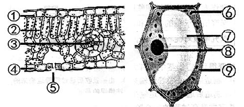微镜下观察到的叶片结构图 请据图回答 9分 1 植物体与外界进行气体图片