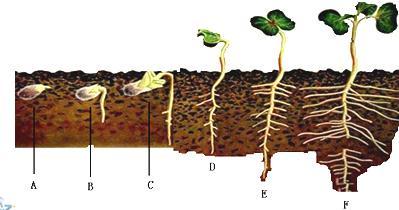 研究人员发现菜豆种子在萌发成幼苗的过程中,体内储存