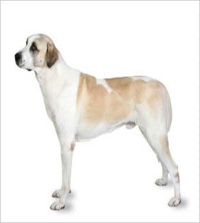 宠物大全:安娜图牧羊犬详细资料