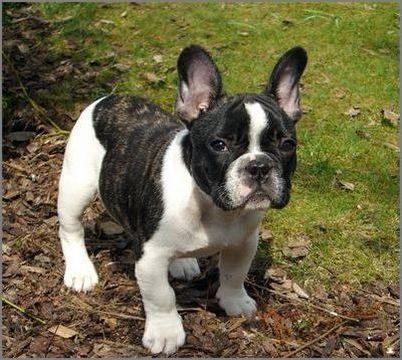 宠物大全:斗牛犬的详细资料