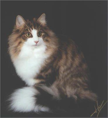 宠物大全:挪威森林猫的详细资料图片