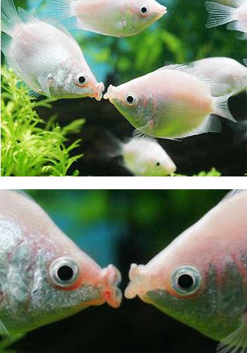 接吻鱼为什么会接吻_【接吻鱼不接吻】揭开接吻鱼会接吻的奥秘 - 百科教程网_经验 ...
