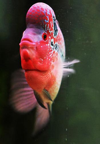 罗汉鱼公母分辨方法大公开图片