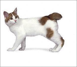 拜猫网_宠物大全:日本短尾猫的详细资料