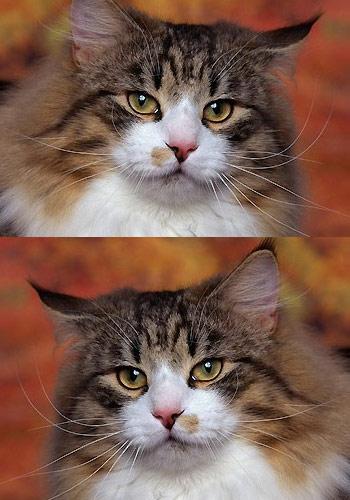 选购挪威森林猫的11个要点图片