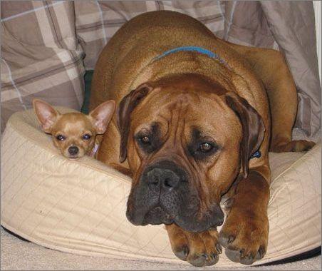 斗牛马士提夫犬_斗牛马士提夫_马士提夫犬獒和卡斯罗犬