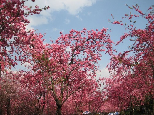 青岛中山公园赏樱花