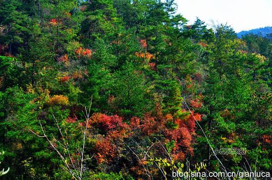 常绿的松树林