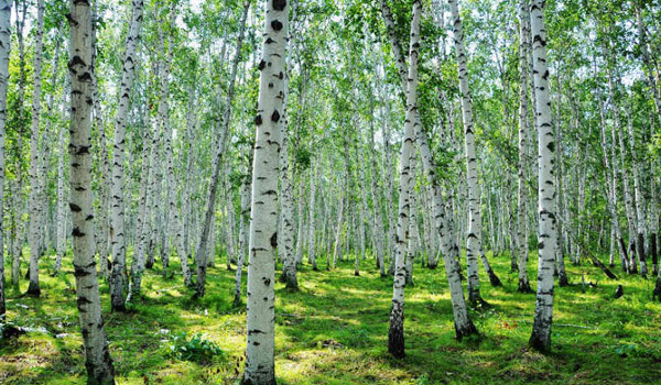 树 桦林 桦树 600_350