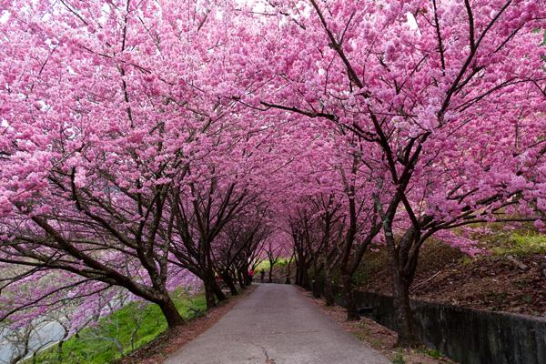 台湾樱花什么时候开?台湾哪里看樱花?三月台