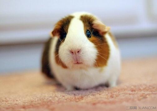 荷兰猪又名豚鼠,是非常可爱的宠物鼠