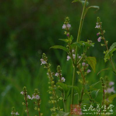 腺毛掌裂蟹甲草