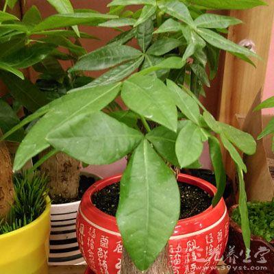 事实上,发财树为进口树种,而招财树则是地地道道的中国货,两者的外形
